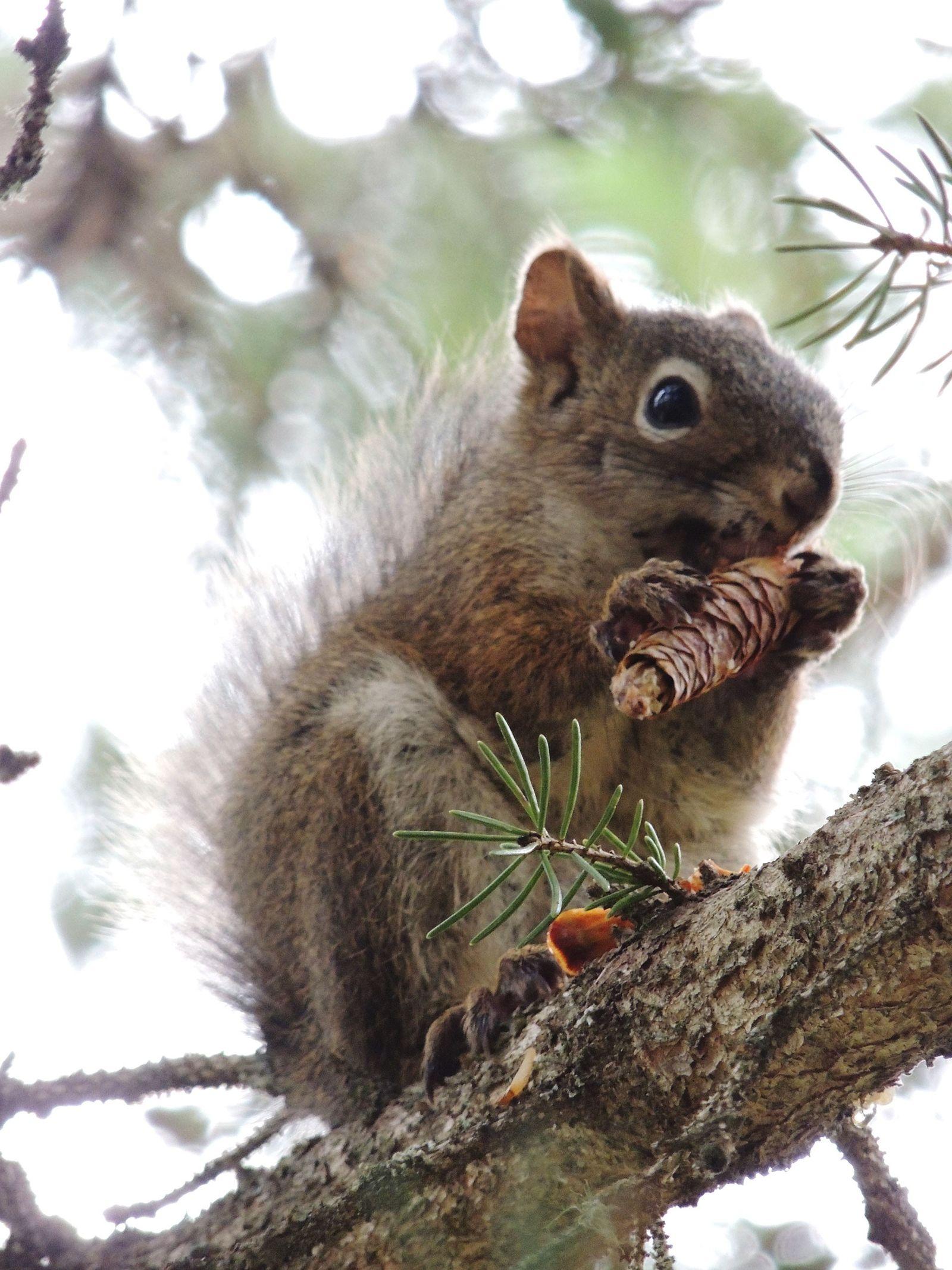 Il semblerait que les écureuils roux soient capables de prédire quand les pins blancs vont produire ...