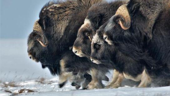 Le destin des bœufs musqués pourrait aussi être celui d'autres espèces.