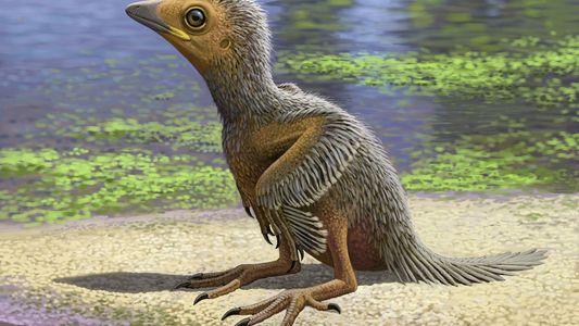 Un rare fossile d'oisillon de 127 millions d'années mis au jour en Espagne