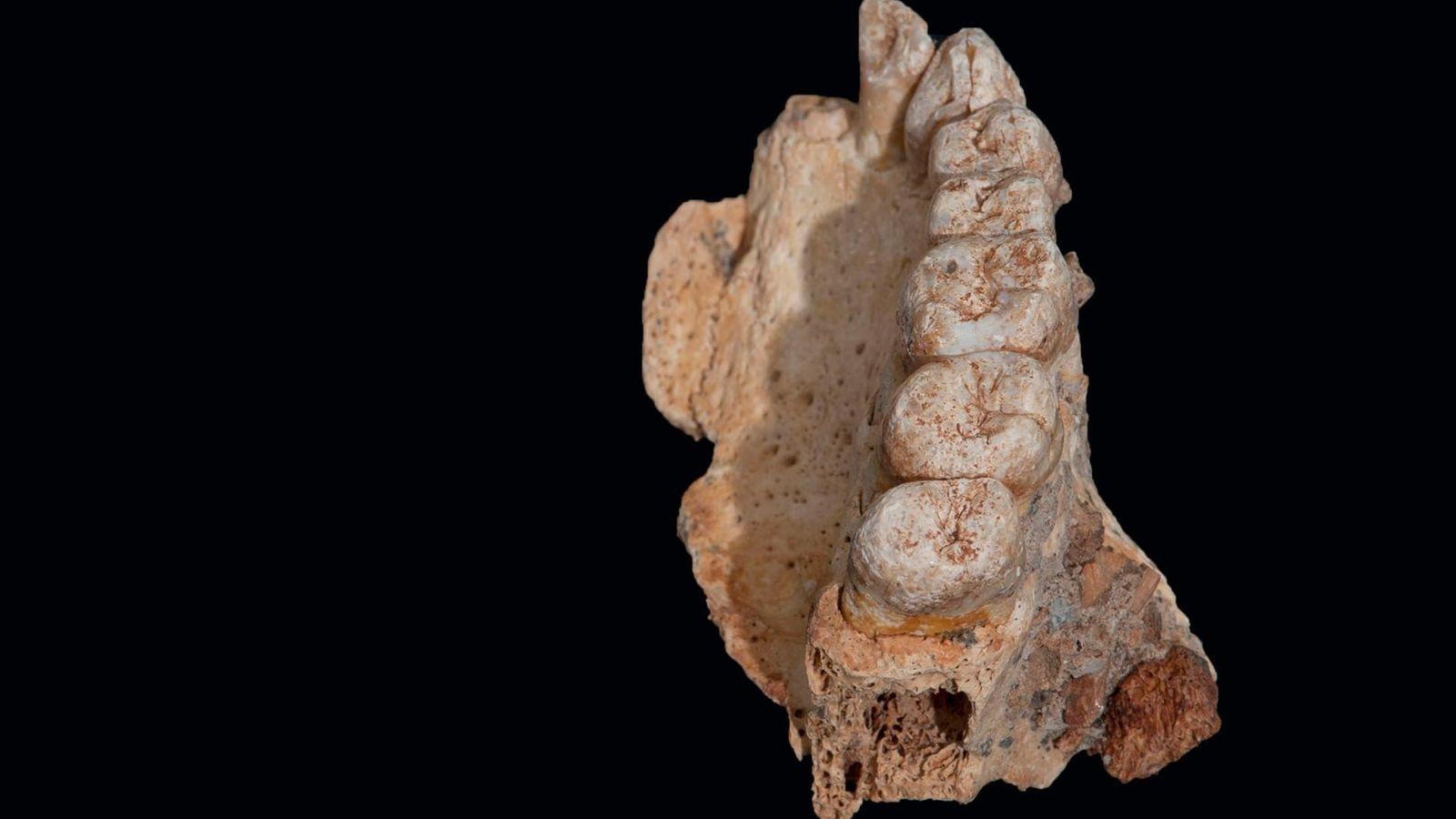 Vue du fossile d'une mâchoire appartenant à un homme moderne retrouvé en Israël.