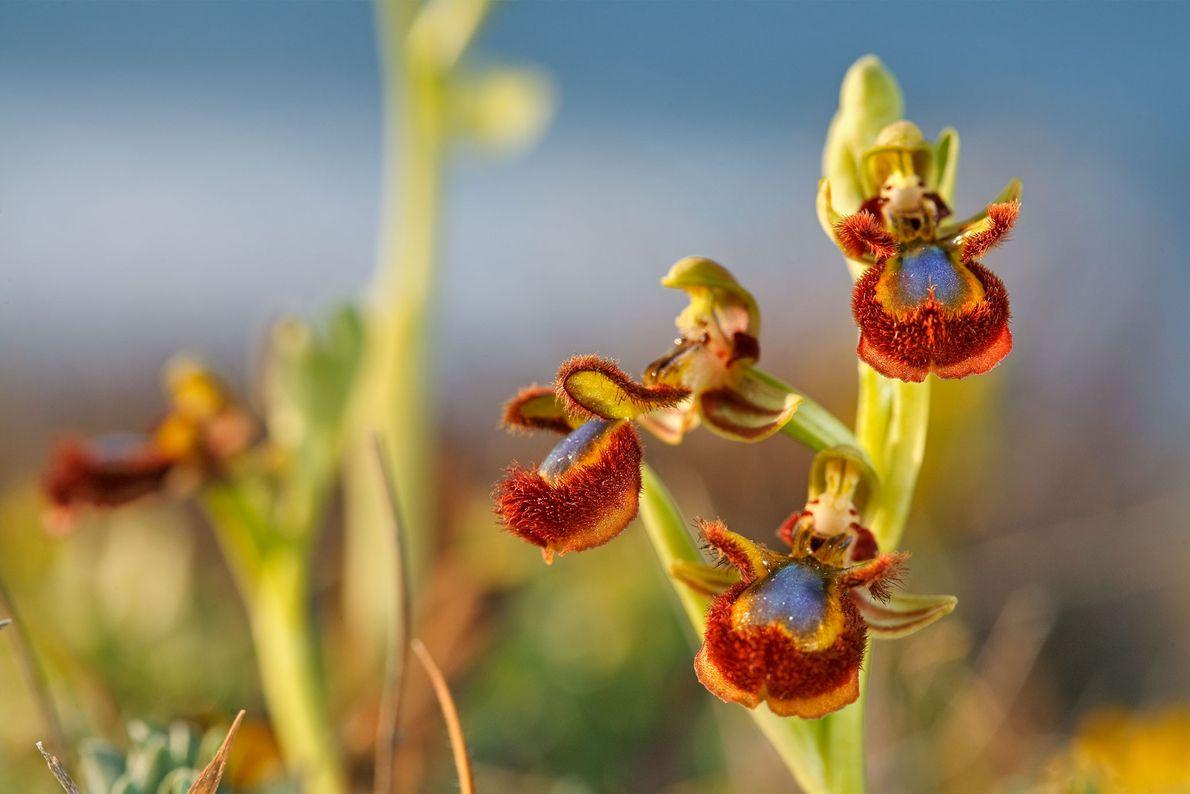 Cette Ophrys miroir est aussi photographiée en Sardaigne. Bien que toutes les espèces soient protégés par ...