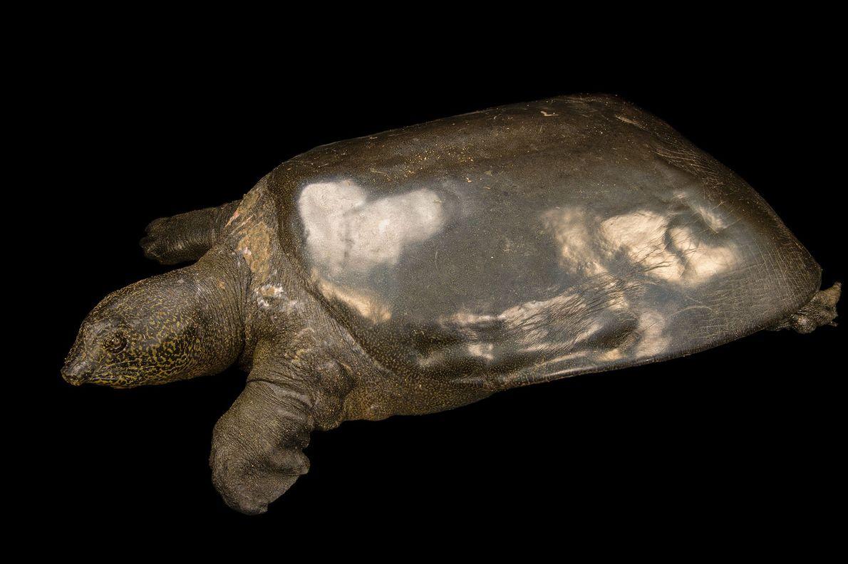 04-rarest-turtle