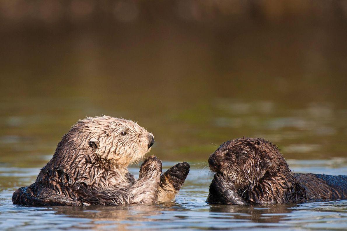 Cette mère et son petit se toilettent mutuellement à Moss Landing, dans la baie de Monterey, ...