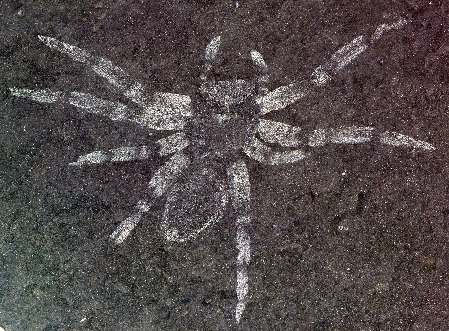Le spécimen de Koreamegops samsiki, à l'origine de la définition de cette nouvelle espèce d'araignée, vivait ...