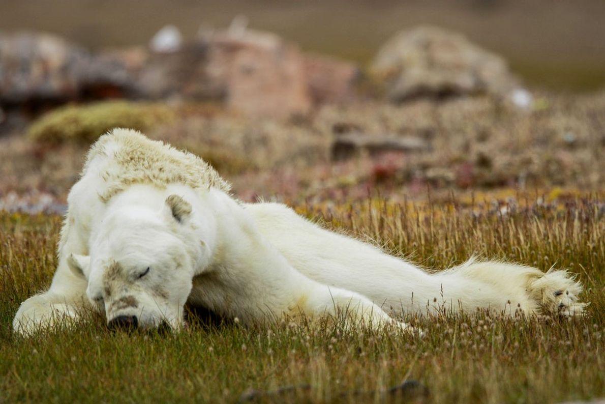 Vu la faiblesse de cet ours, l'équipe pense qu'il est mort un jour ou deux après ...