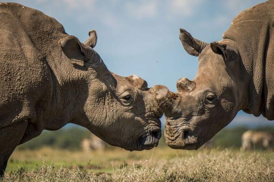 Sudan interagit avec un rhinocéros blanc du sud.