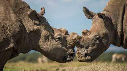 Des embryons in vitro pour sauver les rhinocéros blancs du Nord