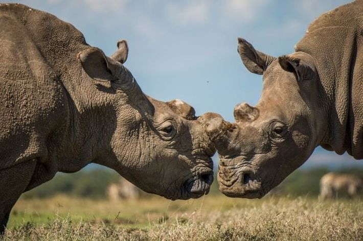 Sudan, le dernier rhinocéros blanc du nord mâle, interagissant ici avec un rhinocéros blanc du sud.