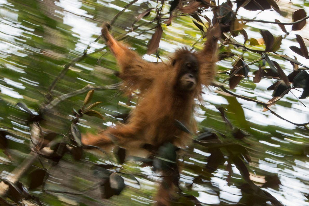 Une jeune femelle orang-outan Tapanuli se balance d'arbre en arbre.