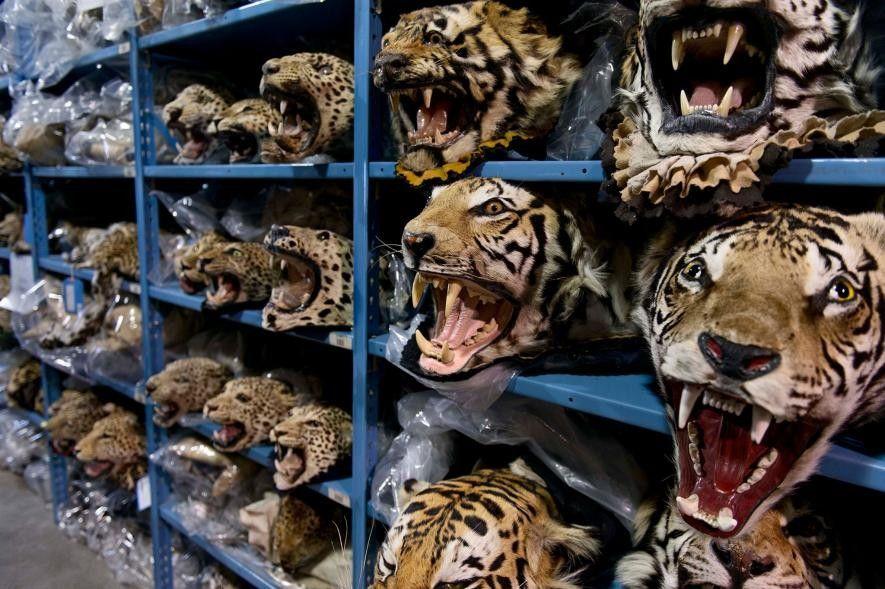 Ces têtes de tigres saisis par les autorités américaines sont désormais entreposées au National Wildlife Property ...