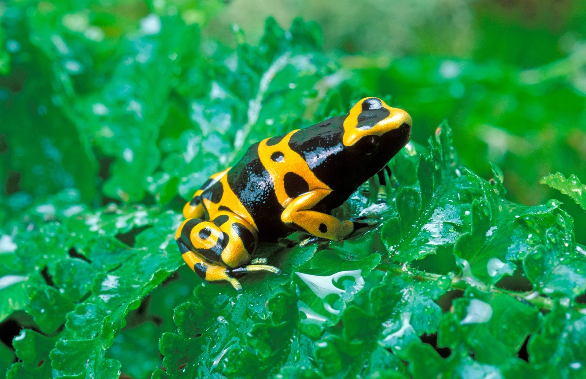 Les taches qui ornent la grenouille à flèches empoisonnées de l'espèce Dendrobates leucomelas diffèrent légèrement d'une ...