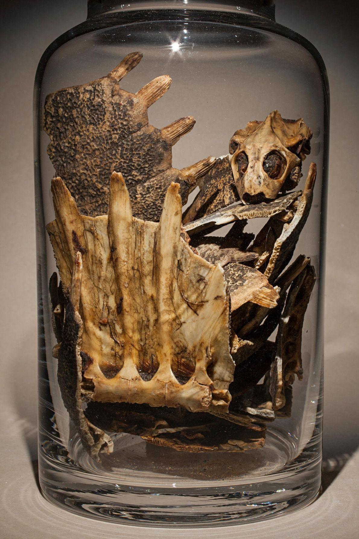 Les tortues chinoises à carapace molle sont souvent élevées en tant que ressource alimentaire et leurs ...