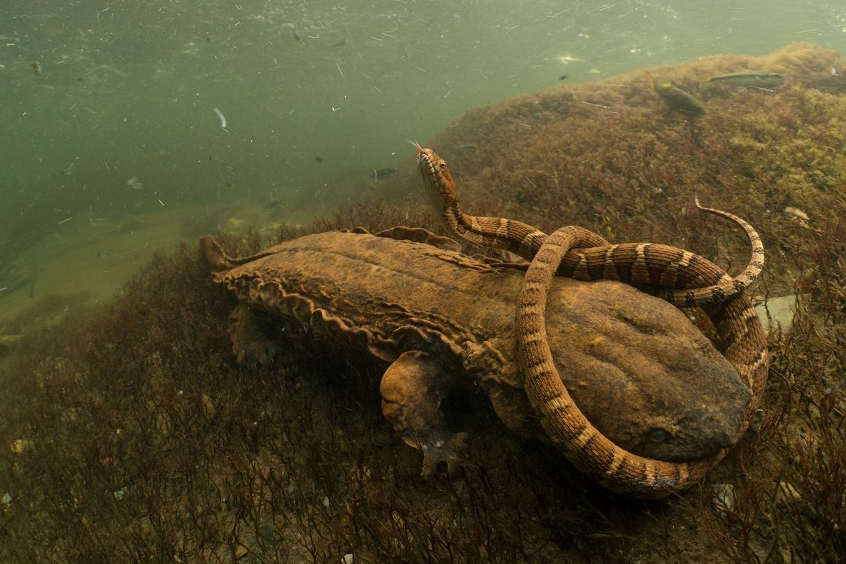 David Herasimtschuk s'est imposé dans la catégorie « amphibiens et reptiles » avec cette image d'une ...