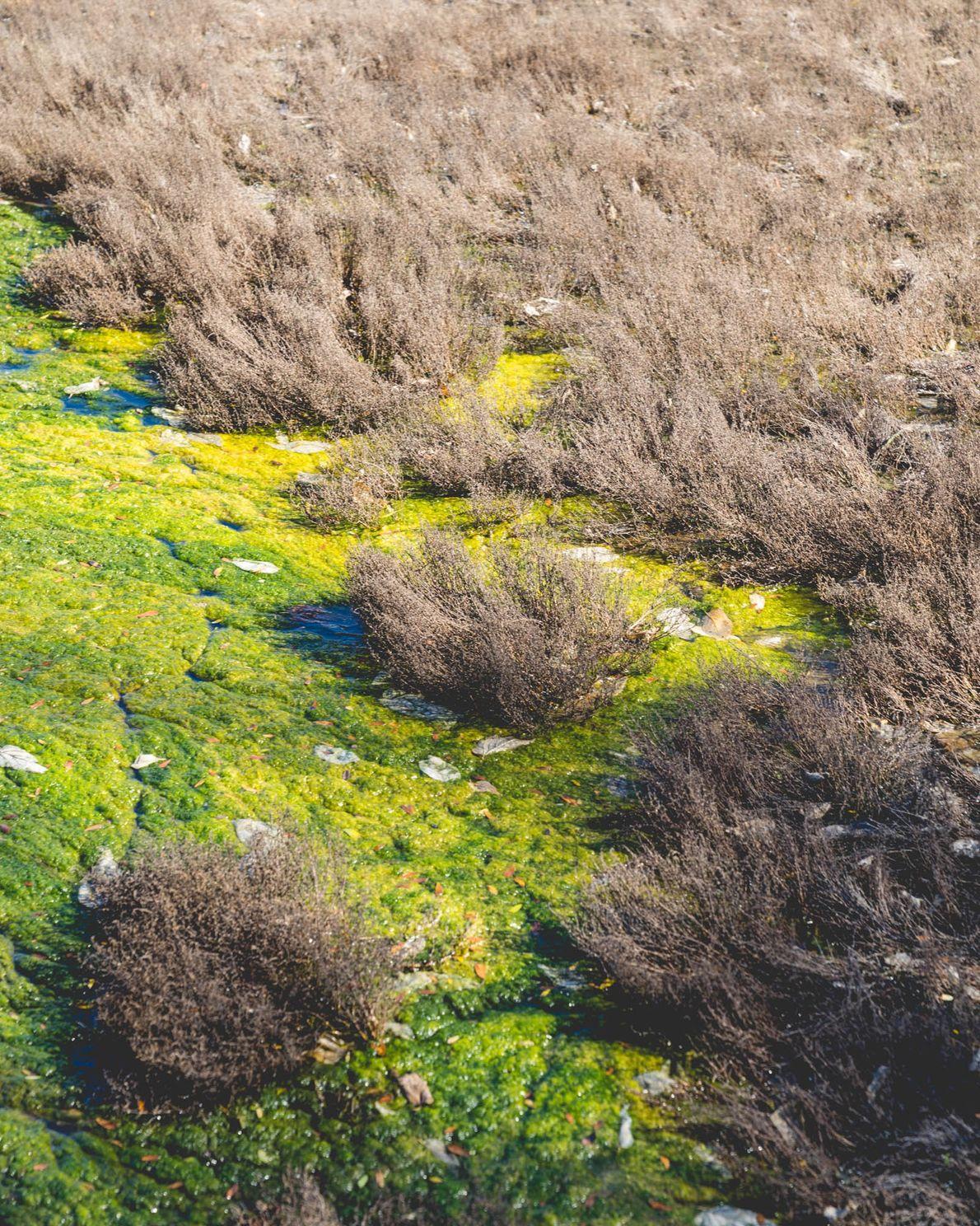 Des algues vertes recouvrent une parcelle privée des marais salés de Marsh Wren. En plus de ...