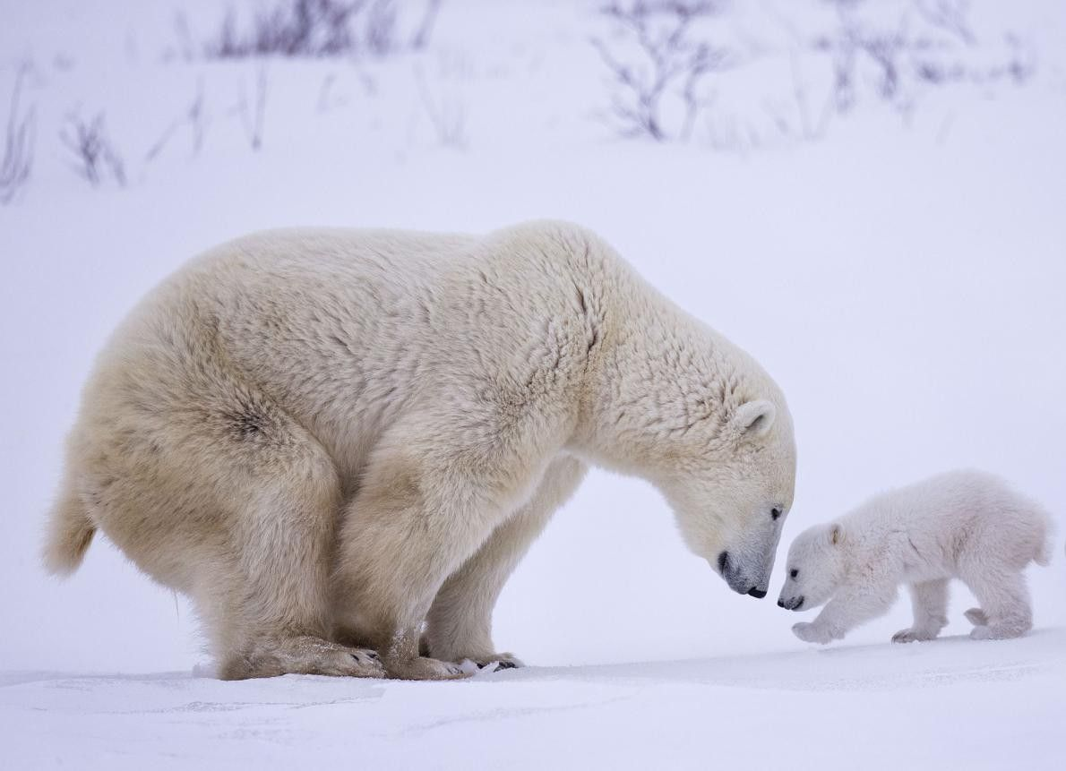 """""""J'ai vu une mère d'ours polaire et ses nouveau-nés dans le parc national de Wapusk, au ..."""