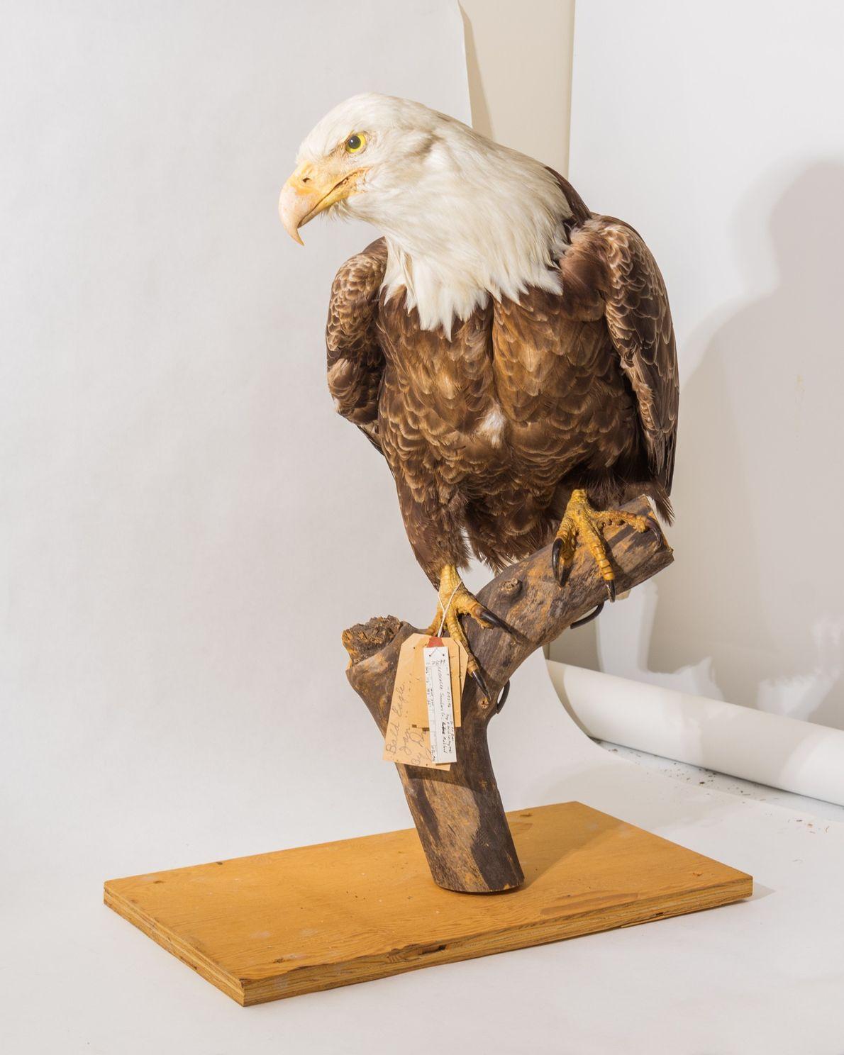 Un pygargue à tête blanche de la collection du musée de l'université du Nebraska. Ce spécimen ...