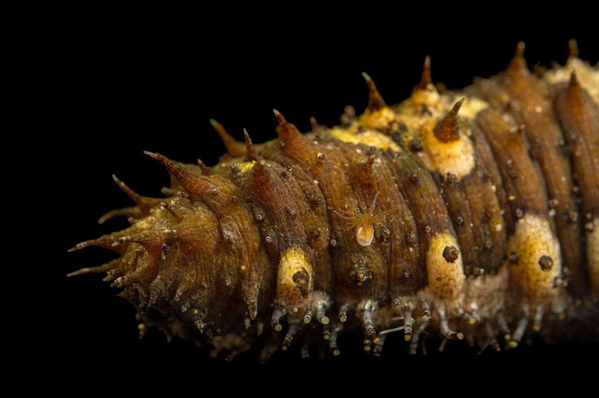 Un concombre de mer de l'Aquarium Loveland Living Planet, situé à Draper, dans l'Utah.