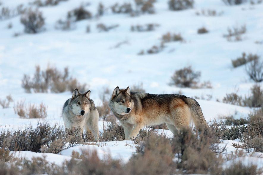 Deux loups gris (Canis lupus) prennent la pause dans un champ enneigé.