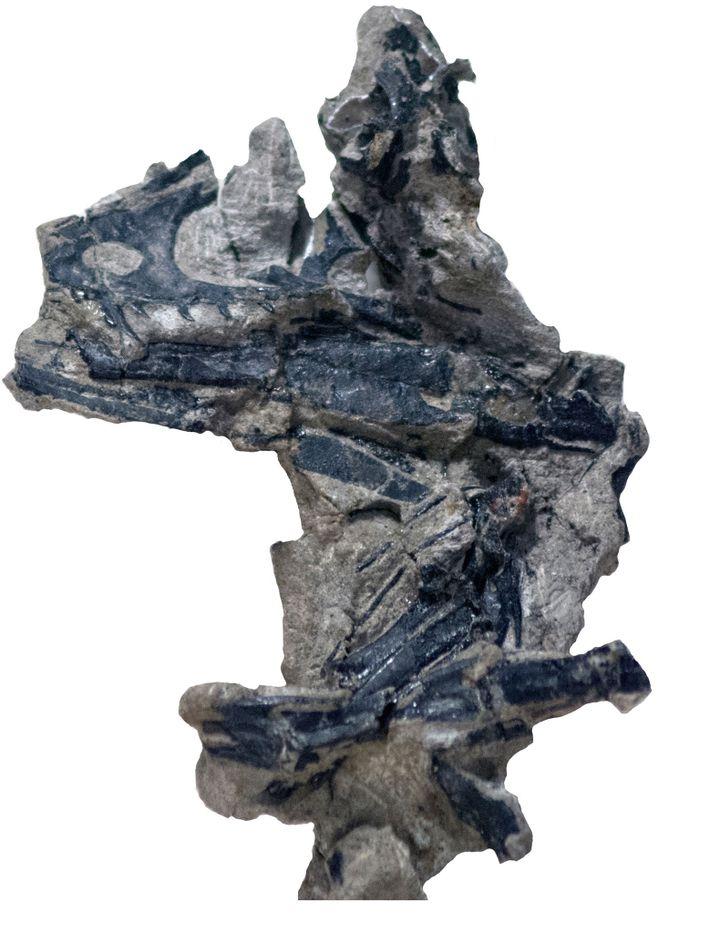 Cette image détaillée montre le morceau de roche contenant le crâne fossilisé de Hesperornithoides miessleri.