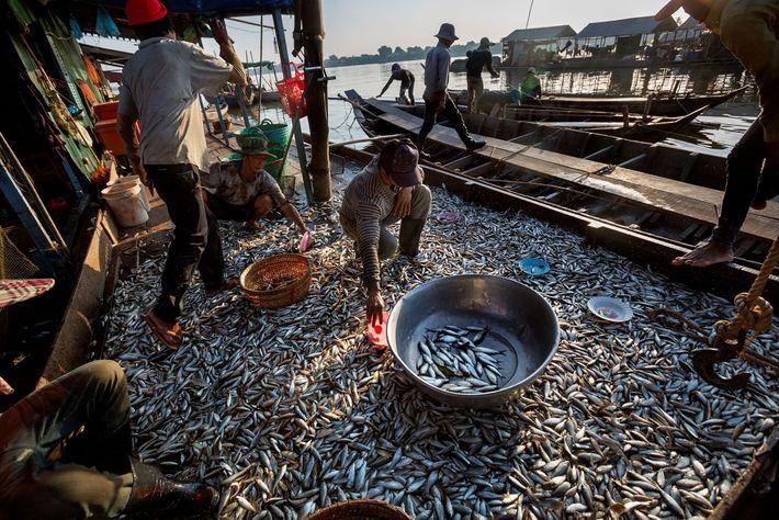 Lors de la saison sèche, lorsque le niveau de l'eau du Mékong baisse, les poissons se ...