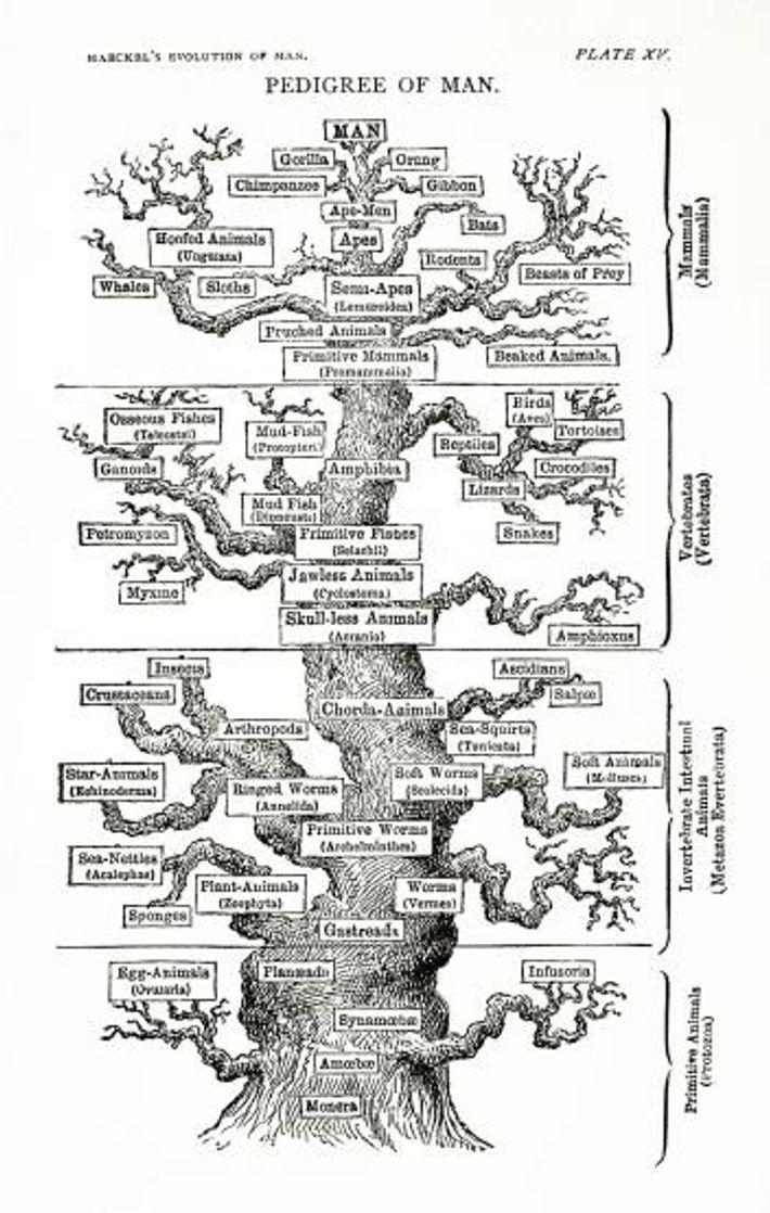 Ernst Heinrich Philipp August Haeckel, biologiste de l'évolution allemand et disciple de Darwin a réalisé cet ...