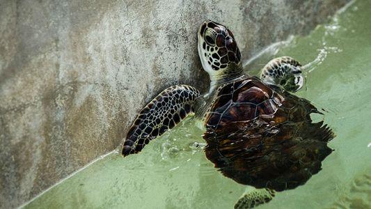 Aux îles Caïman, un centre touristique élève des tortues pour leur viande