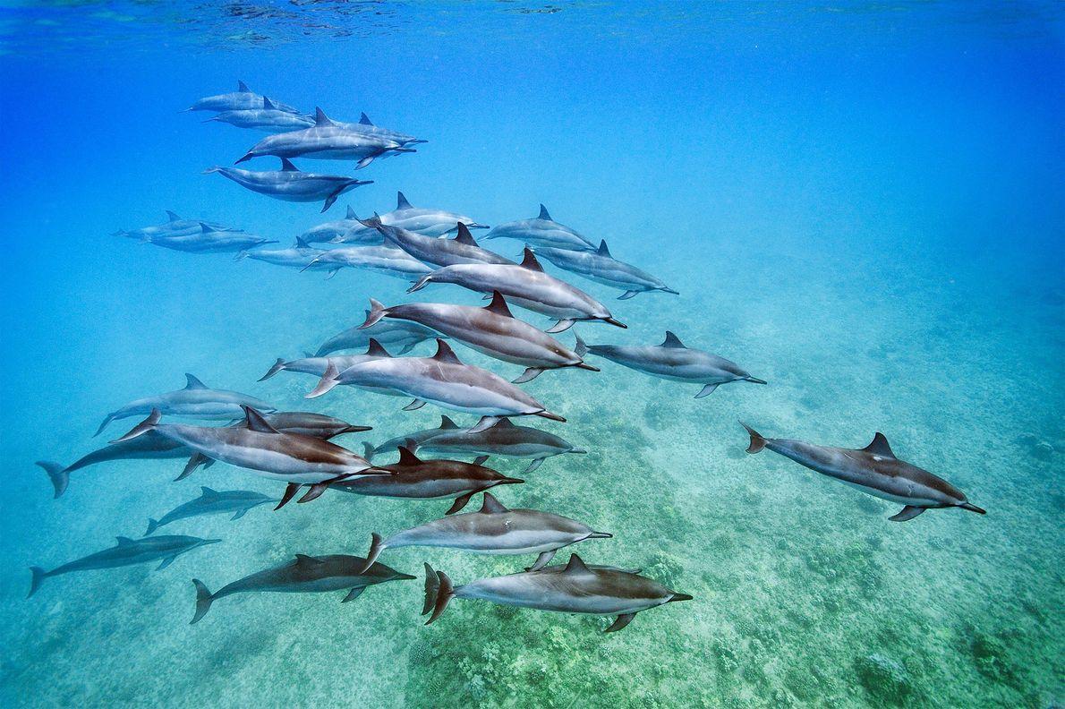 Aperçus au large de l'île d'Oahu, dans l'archipel d'Hawaï, ces dauphins à long bec (Stenella longirostris) ...