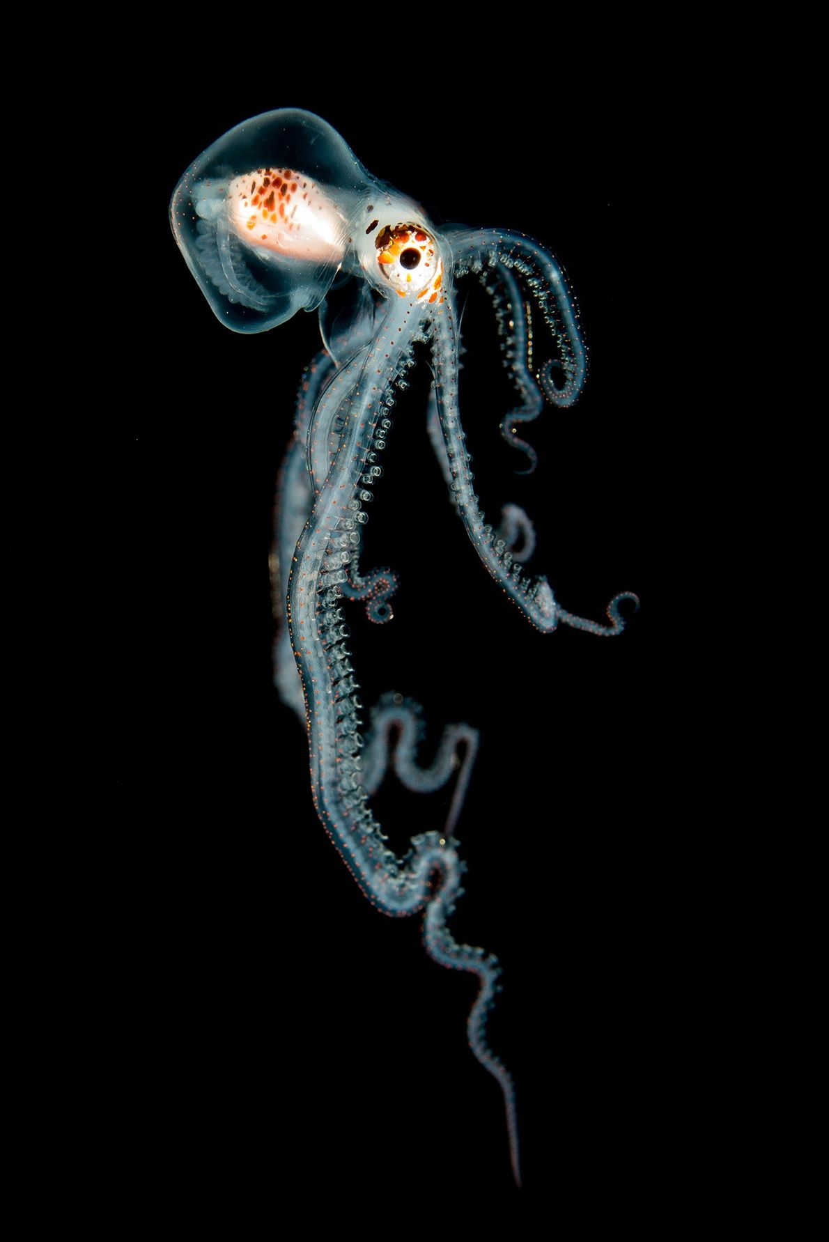 Une pieuvre dimorphe dans la nuit