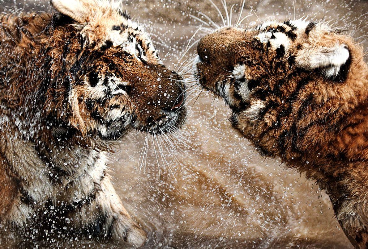 Deux tigres de Sibérie s'affrontent en Hongrie.
