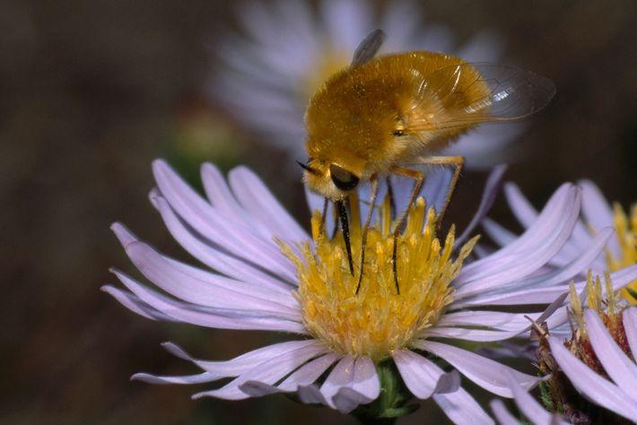 Le grand bombyle est une mouche qui use de sa ressemblance avec les abeilles pour pondre ...