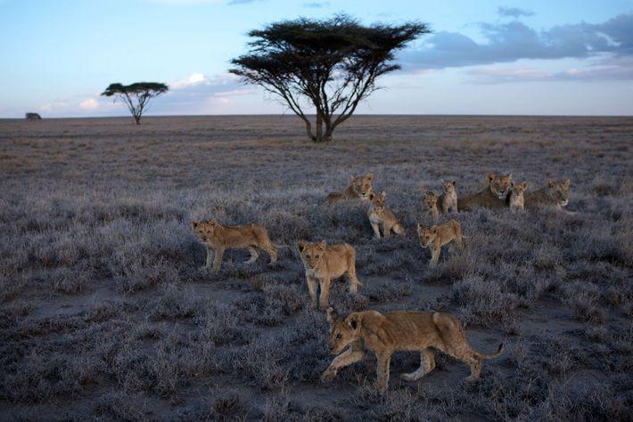Les lionnes et leurs lionceaux du clan Vumbi se reposent au cœur de la plaine du ...