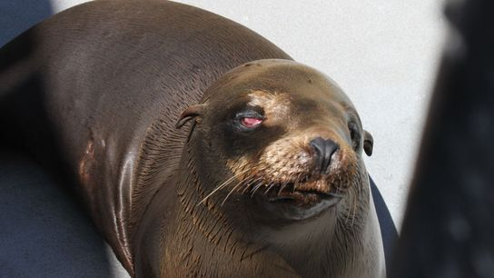 Cette photo de Cruz, une jeune otarie mâle, a été prise peu de temps après avoir ...