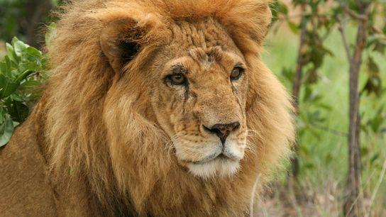 Selon l'ONG Panthera, une explosion des massacres de lion a eu lieu ces dernières années. Alors ...