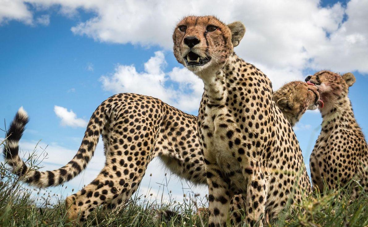 Une mère guépard se tient aux côtés de ses deux fils. La famille se lèche les ...