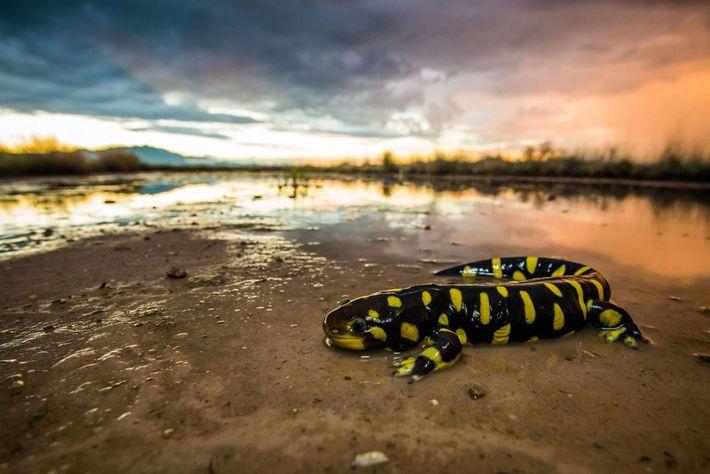 Salamandre tigrée ou Ambystoma tigrinum, Willcox, Arizona, États-Unis.