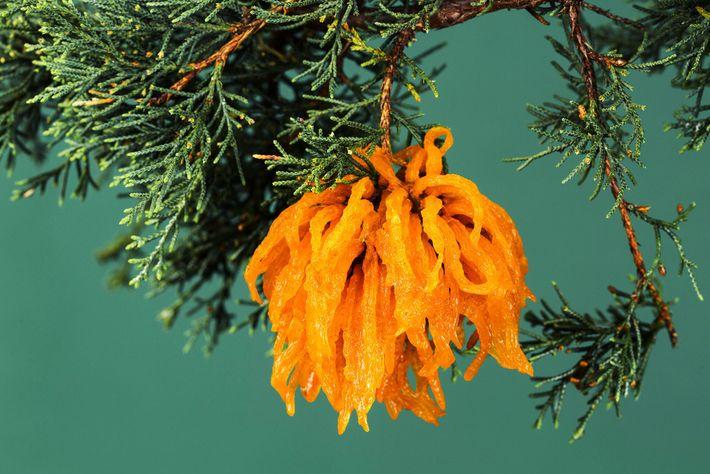 Les tentacules orange de la rouille-tumeur du genévrier rétrécissent et gonflent au gré des précipitations.