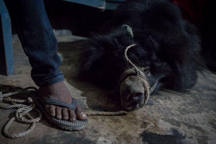 Une corde court dans le trou percé dans le museau de Sridevi. Quand les ours dansants ...