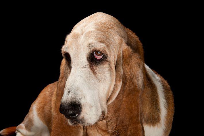 Un basset hound.