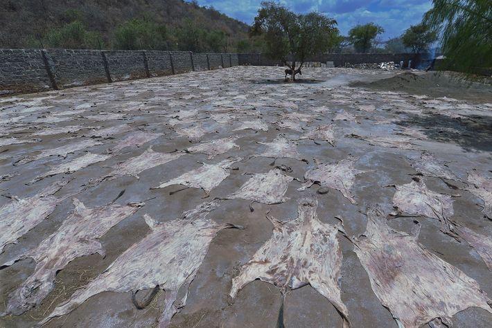 Dans cet abattoir agréé situé au Kenya, des peaux sèchent au soleil sous le regard d'un ...
