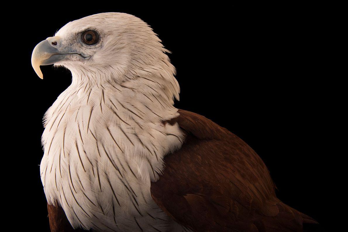 Un milan sacré, Haliastur indus, du zoo de Singapour. Ces oiseaux à grandes ailes peuplent principalement ...