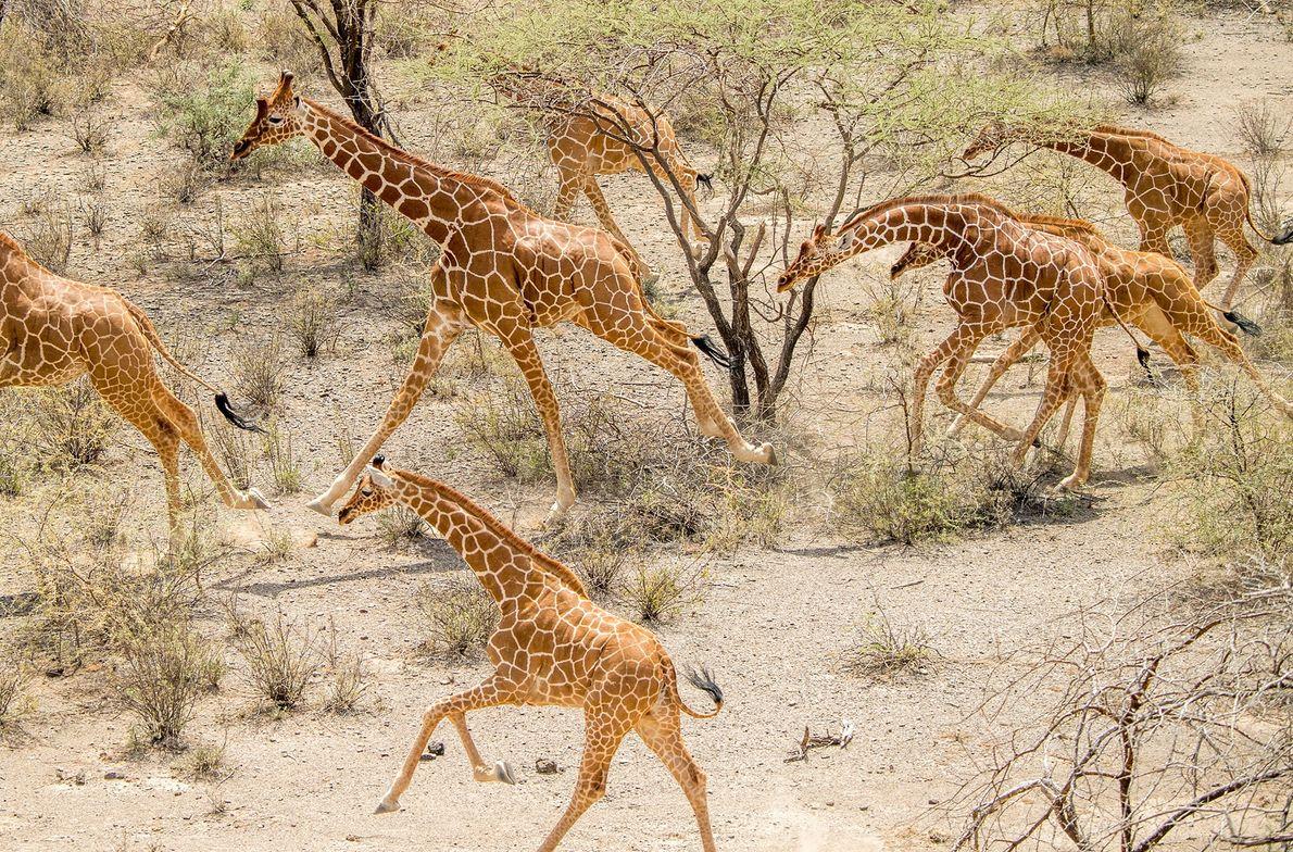 Une horde de girafes réticulées courent à travers la zone de conservation de Leparua située au ...