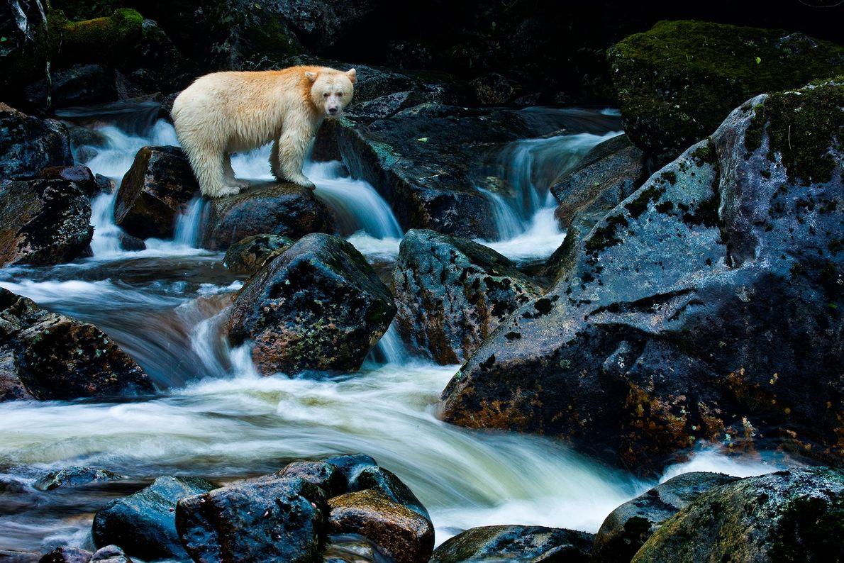 Les ours Kermode sont endémiques de la côte centrale de l'archipel isolé de la Colombie-Britannique. Une ...