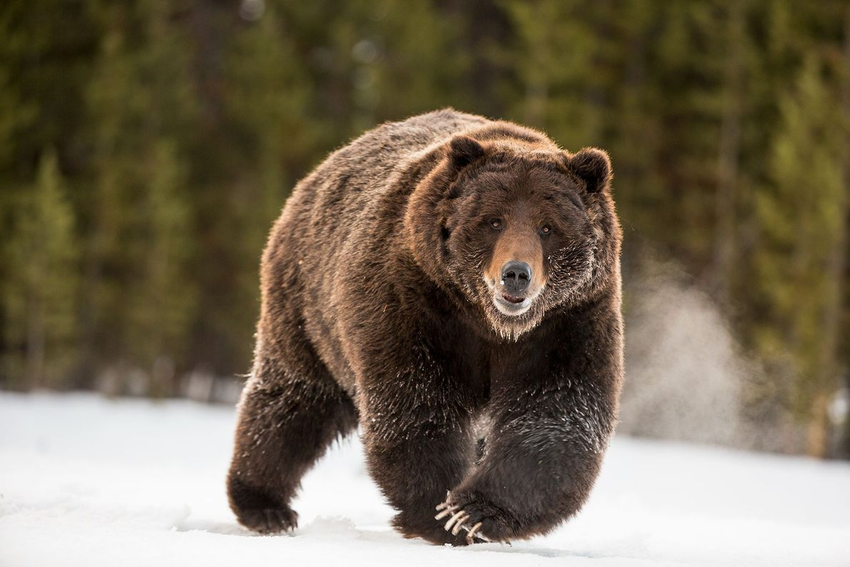 05-grizzly-bear-yellowstone