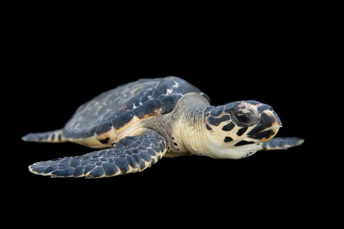 Les tortues imbriquées figurent sur la liste rouge de l'UICN en tant qu'espèce en danger critique ...