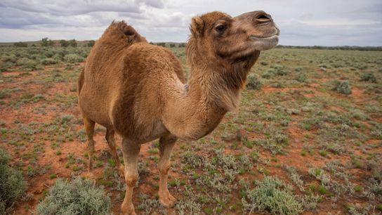 L'Australie compte environ 300 000 chameaux sauvages, dont les premiers ont été importés du Moyen-Orient comme ...