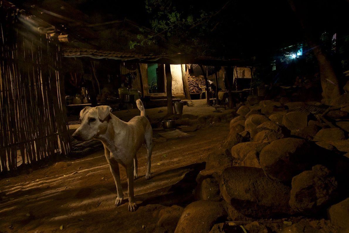 Un chien est aux aguets dans le quartier d'Aarey Milk Colony à Bombay.
