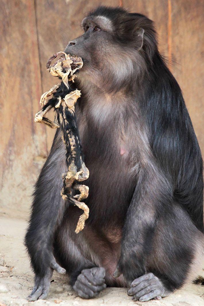Si de nombreux primates portent la dépouille de leurs petits disparus pendant des jours, rares sont ...