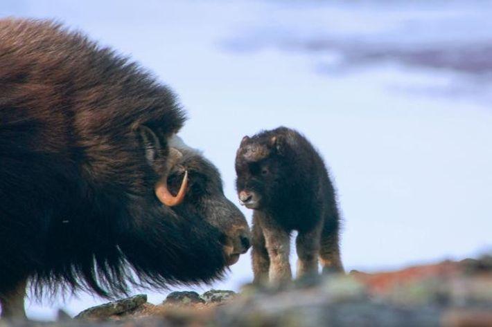 Un bœuf musqué nouveau-né salue les membres de sa famille.