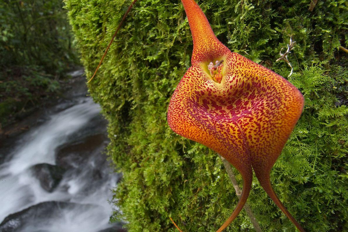 Beaucoup d'espèces d'orchidées sont vulnérables à la récolte à outrance. Cette Masdevallia qui a été prise ...