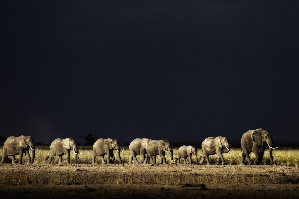 Un troupeau d'éléphants d'Afrique reprend la route dans le parc national Maasaï d'Amboseli, au Kenya.